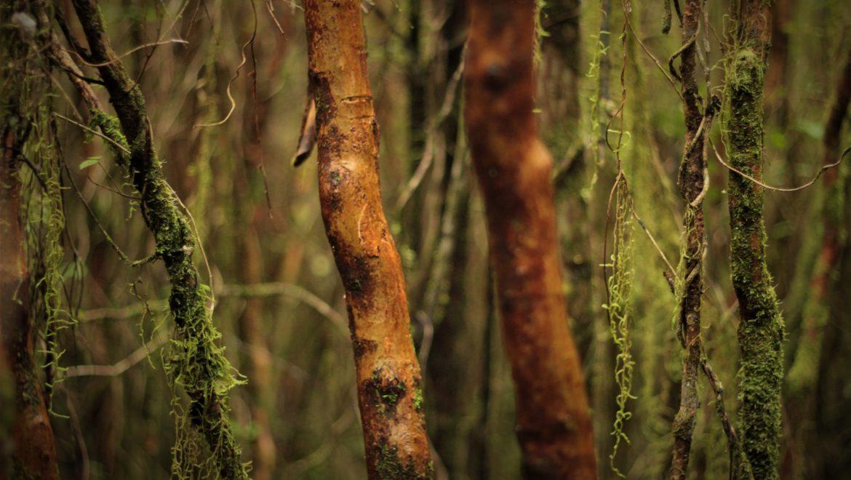 bosque tree chiloe
